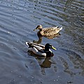 Anas platyrhynchos mallard pair at City of London Cemetery and Crematorium, Newham, England 08.jpg