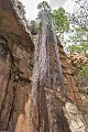 Ancylobothrys capensis09.jpg