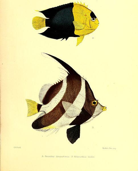 File:Andrew Garrett's Fische der Südsee (1873) (18196734201).jpg