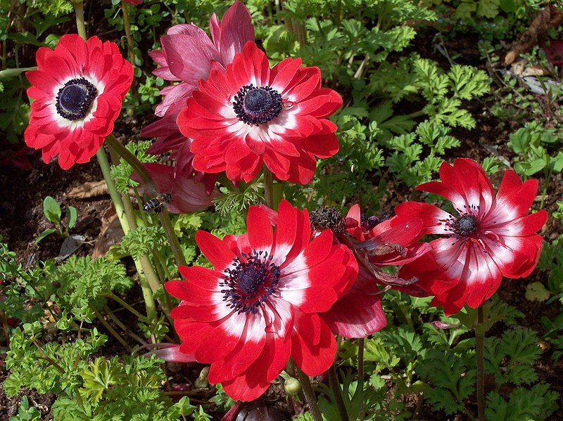 800px Anemone coronaria The Governor RJB