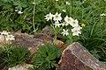 Anemone narcissiflora 17.jpg