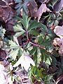 Anemone nemorosa sl3.jpg