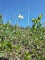 Anemone sylvestris sl42.jpg
