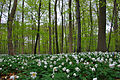 Anemones with newly sprung beeches (4567574031).jpg