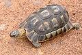 Angulate Tortoise (Chersina angulata) (32041466513).jpg