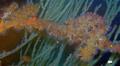 Antipathozoanthus.hickmani.Pinzon.Island.png