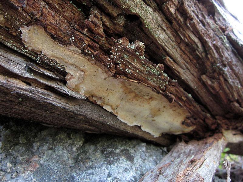 jamkówka białobrązowa  (Antrodia albobrunnea)