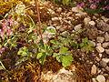 Aquilegia dinarica foliage.JPG