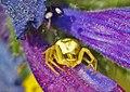 Araña cangrejo acechando entre viperinas (653135996).jpg
