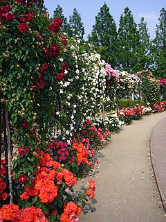 Rose garden garden or park which comprises mainly of roses