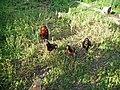 Araucana-PICT0020 edited.JPG