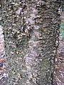 Araucaria cunninghamii 1.jpg
