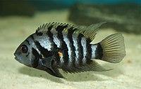 Archocentrus nigrofasciatus female