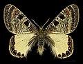 Archon apollinus MHNT CUT 2013 3 7 male dos Turquie.jpg