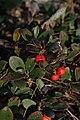 Arctostaphylos uva-ursi 4286.JPG