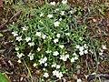 Arenaria montana subsp. montana Habitus 2011-4-24 SierraMadrona.jpg
