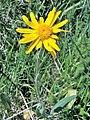 Arnica montana. Árnica.jpg
