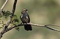 Arrow-marked Babbler, Turdoides jardineii, at Pilanesberg National Park, Northwest Province, South Africa (28055712173).jpg