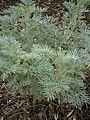 Artemisia 'Powis Castle' RHu.JPG