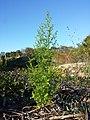 Artemisia annua sl1.jpg