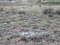 Artemisia pedatifida — Matt Lavin 007.jpg