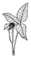 Arum (PSF).png