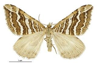<i>Asaphodes cataphracta</i> species of moth