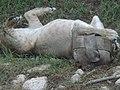 Asiatic Lioness 11.jpg