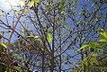 Asimina triloba 5zz.jpg