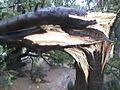 Asoka tree.jpg