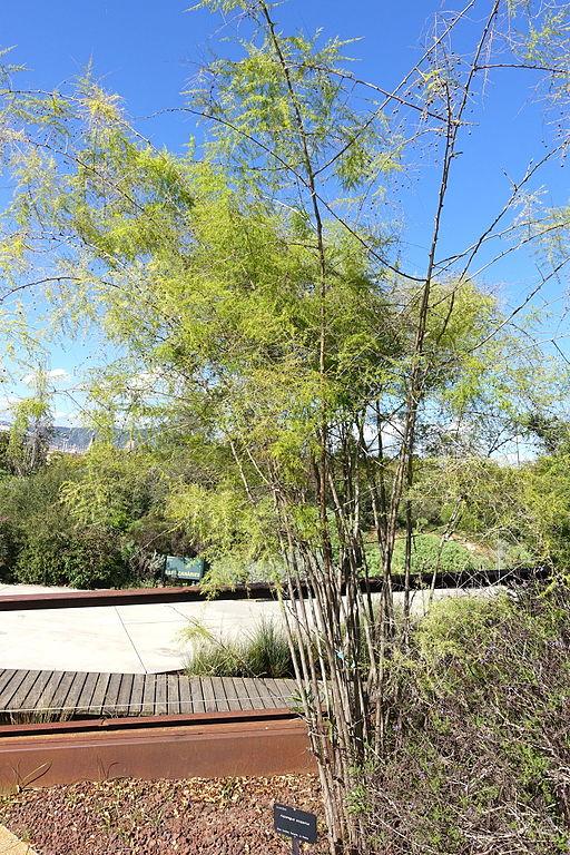 File asparagus scoparius jard n bot nico de barcelona for Barcelona jardin botanico