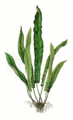Asplenium scolopendrium leaf.png
