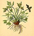 Asplenium seelosi Atlas Alpenflora.jpg