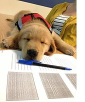 A young, small Golden Retriever puppy in a red service dog vest is lying sound asleep on a notebook, with a pen just in front of his nose. He is facing the camera but his eyes are tightly shut.