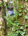 Association lierre (hedera helix) et Fougère (Polypodium vulgare) en épiphyte Marenla 03 aout 2017 04.jpg