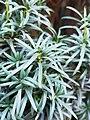 Asterales - Artemisia dracunculus - 4.jpg
