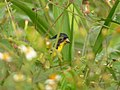 Astragalinus psaltria (Jilguero aliblanco) - Macho (14022959532).jpg