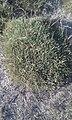 Astragalus gennargenteus3.jpg