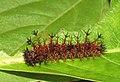 Athyma perius - Common Sergeant caterpillar 15.jpg