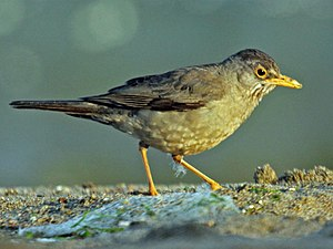 Austral thrush - T. f. magellanicus in Central Chile
