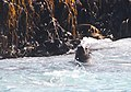 Australian fur seal in the water at The Friars - Pennicott Bruny Island cruise (33914455465).jpg