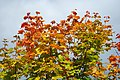 Autumn Maple (10273907555).jpg