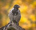 Autumn crow (50519857947).jpg