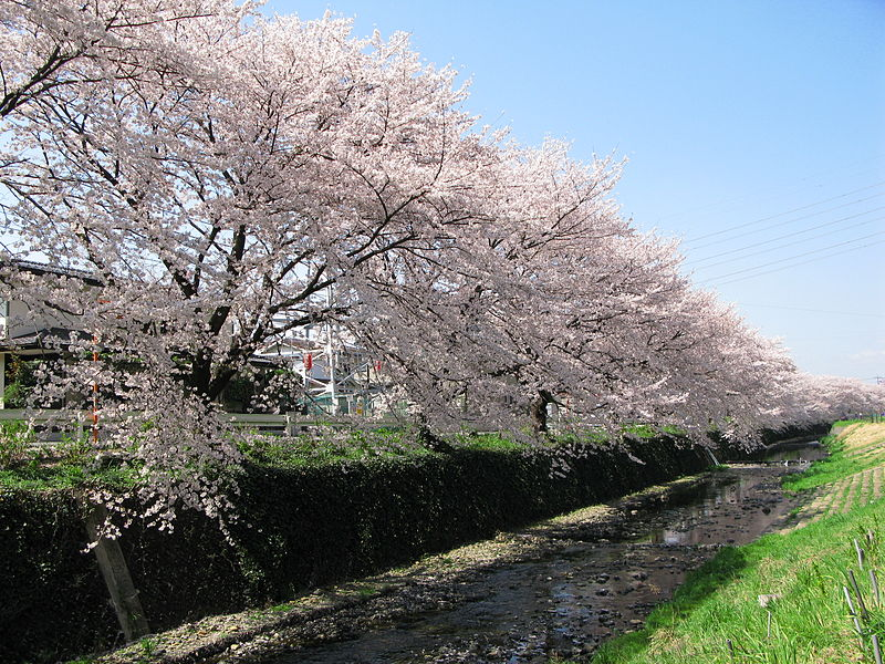 File:Azuma River sakura2010.jpg
