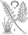 BB-0023 Woodsia ilvensis.png