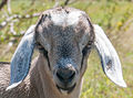Baby Goat face in Margarita Island.jpg