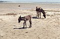 Baby donkey by big dune at river mouth. North of Tarifa. Andalusia (23903708558).jpg