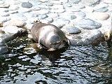 箱根園水族館のバイカルアザラシ