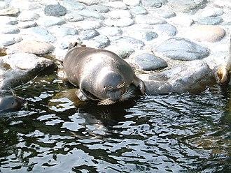 Baikal seal - Image: Baikal seal 200507 hakone japan