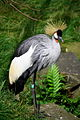 Balearica regulorum ZOO in Edinburgh.JPG